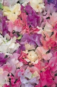 beautifully scented garden sweet peas