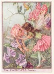 sweet pea flower fairy from flower fairy book